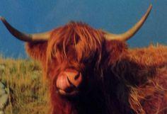 Aberdeen Cow Scotland May 2013 Aberdeen, Redheads, Scotland, Cow, Red Heads, Ginger Hair, Cattle, Red Hair
