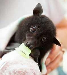 Baby flying fox in rehab