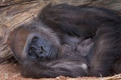 Gorilla mother Imani and her baby girl are too cute to handle.