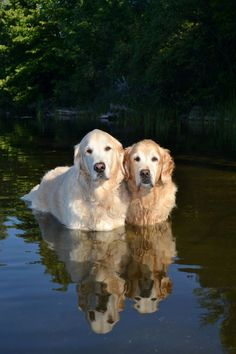 Astonishing Everything You Ever Wanted to Know about Golden Retrievers Ideas. Glorious Everything You Ever Wanted to Know about Golden Retrievers Ideas. Golden Retrievers, Dogs Golden Retriever, Beautiful Dogs, Animals Beautiful, Beautiful Couple, I Love Dogs, Cute Dogs, Animals And Pets, Cute Animals