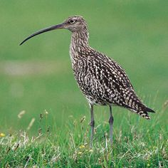Storspov - Curlew (Numenius arquata) Needs variation in the farmed landscape and is greatly disadvantaged now days.