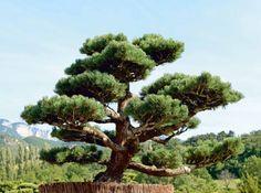 Tailler ses arbres en nuage : le Pinus pentaphylla