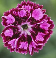 Sangria Splash Pinks (Dianthus 'Sangria Splash') at Gertens