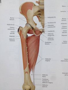Adductor muscles - Anterior view (Torn Hip Flexor)