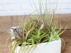 200 Air Plant Design Ideas In 2020 Air Plants Plants Plant Design