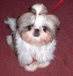 I love these little guys! 10 Super Cute Shih Tzu dogs | Blog | GirlyBubble