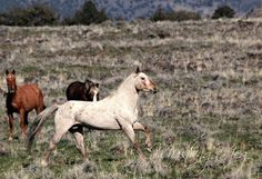"""Wild mustang of SE Oregon called """"Copperhead"""", photos by Mustang Meg"""