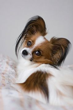 """It is crucial that you carefully think things over before breeding your Pomeranian. There are some dog owners who wish to breed """"designer"""" canines. Pomchi Puppies, Cute Puppies, Dogs And Puppies, Cute Dogs, Chihuahuas, Doggies, Animals Watercolor, Papillion Dog, Animals And Pets"""