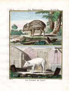 """"""" White Pig Baby Boar """" , 1766. Copper engraving, Antique Hand Colored Print, Buffon Natural History. Measures 10 x 8 inches. 27 x 22 cm."""