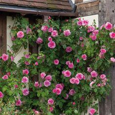 Gertrude Jekyll - Englische Kletterrosen - Englische Rosen – gezüchtet von David Austin
