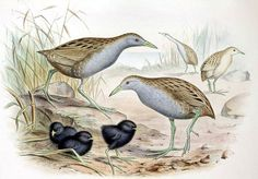 "Laysan Rail (1944):  The Laysan Rail was a small flightless bird of the Northwest Hawaiian Island of Laysan. It was only 5.9 inches from beaktip to ""tail"" tip. The rail was initially threatened when domestic rabbits were introduced to Laysan. With no predators to control their numbers the rabbits soon ate the entire vegetation cover on the island. The species is believed to have become extinct on Laysan during 1923. The last rail was seen on Eastern Island in Midway in June 1944."