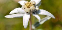 5 Curiosidades sobre a Flor de Edelweiss. Você já ouviu falar na flor de edelweiss? Trata-se de uma pequena planta cercada de pétalas brancas, com o centro amarelado e brácteas que lembram uma estrela. A flor de edelweiss possui algumas particularidades interessantes, incluindo uma lenda digna de estampar um bom livro de romance. Apresentamos 5 curiosidades para você conhecer melhor o supremo talismã do amor, como a flor é conhecida. Confira!