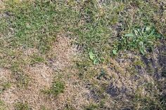 Grass With Bald and Dry Patches. Grass texture from an overhead view with bald a , Bald Patches, Banana Breakfast, 3d Modeling, Weed, Smoothie, Lawn, Grass, Stock Photos, Texture
