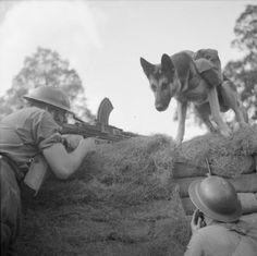 'Mark', a dog ammunition carrier, delivers ammo to a British Bren machine-gun team, Eastern Command, 20 August 1941.