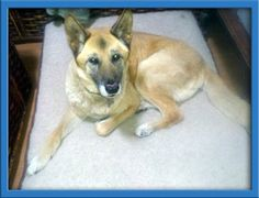 Tobi is an adoptable German Shepherd Dog Dog in Stanton, CA. For the most current information and if Tobiis still available to adopt please copy the link below into your broswer and visit our website ...