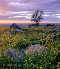 Yellow Fiddleneck wildflowers glow in the last rays of the sun, overlooking the San Joaquin Valley above Arvin, California.  Caption and nature photography by Susan Bell Photography.