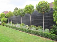 Bay Trees – Lieben Sie grüne Einfachheit im Garten mit Topiary!live Bay Trees - Love green simplicity in the garden with topiary! - Gardening and living . Garden Fence Panels, Garden Privacy, Garden Shrubs, Garden Fencing, Garden Trees, Patio Trees, Privacy Trees, Fence Plants, Balcony Gardening