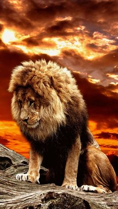 The lonely king wallpaper by georgekev - bd - Free on ZEDGE™ Lion King Animals, Lion King Art, Lion Of Judah, Lion Art, Majestic Animals, Lion Live Wallpaper, Wild Animal Wallpaper, Lion King Pictures, Lion Images