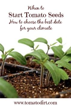 When to start tomato seeds: how to choose a start date with Tomato Dirt Greenhouse Tomatoes, Greenhouse Plans, Types Of Tomatoes, Growing Tomatoes, Tomato Seedlings, Tomato Plants, Saving Tomato Seeds, Natural Ecosystem, Small Space Gardening