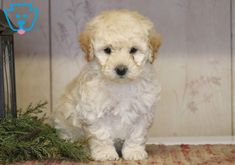 This precious Poodle Mix puppy will fit in nicely with any family. He is an adorable, captivating beauty who is well socialized, lovable, and friendly. Poodle Mix Puppies, Puppies For Sale, Cute Animals, Pets, Pretty Animals, Cutest Animals, Cute Funny Animals