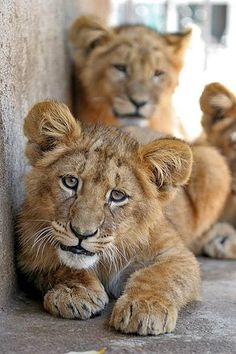 baby lion curiusos... I swear you can see right into his soul. It's beautiful.