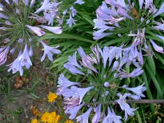 <p>By Heather Rhoades Image by The Marmot Simply a delight to look at, the African Nile lily makes for a very beautiful landscape plant. Also called the lily of the Nile, or Agapanthus, this flower is soft and romantic looking. Very appropriate, considering that the name Agapanthus comes from the …</p>