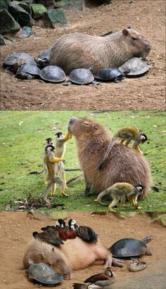 Do Small Creatures Love Capybaras so Much? Why Do Small Creatures Love Capybaras so Much?Why Do Small Creatures Love Capybaras so Much? Unusual Animal Friends, Unlikely Animal Friends, Unusual Animals, Animals Beautiful, Cute Little Animals, Cute Funny Animals, Funny Cats, Nature Animals, Animals And Pets