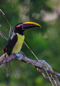 Foto araçari-miudinho (Pteroglossus viridis) por Osmar Slompo | Wiki Aves - A Enciclopédia das Aves do Brasil