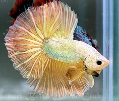 marble gold OHM Freshwater Aquarium Fish, Siamese Fighting Fish, Beauty First, Beautiful Fish, Gone Fishing, Betta Fish, Aquariums, Tropical Fish, Fish Tank
