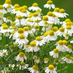 Las plantas medicinales más importantes y fáciles de cultivar Las plantas medicinales y la medici...