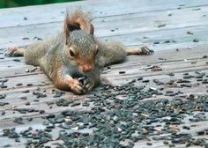 very vigilant – looking out for cats and hawks. squirrel diving into water. little baby squirrel aw. Hamsters, Rodents, Animals And Pets, Baby Animals, Funny Animals, Cute Animals, Beautiful Creatures, Animals Beautiful, Majestic Animals