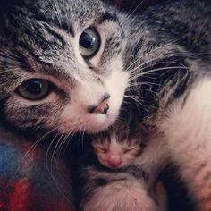 mum protecting the most valuable treasure Why Do Cats Purr, I Love Cats, Cute Cats, Funny Cats, Baby Kittens, Cats And Kittens, Baby Animals, Cute Animals, Cat Years