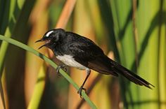 Willy Wagtail LJ 10Jan09 (2) res | by Wacrakey