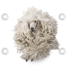 White Corded standard Poodle running