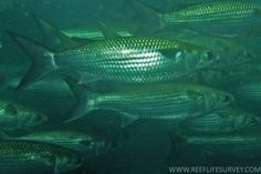 Sea Mullet - Mugil cephalus - often move into lagoons, lakes and the upper reaches of estuaries.