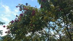 Achiote Bixa orellana Lipstick tree