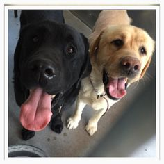 RESCUED!!! George and Larry need out Jan 2 ID #A477184 George yellow Lab ID #A477182 Larry , black Lab Larry and George are bonded , very friendly , both 3 years old . Lab people rarely dump their dogs? George is taking this very hard. Please call if you have any questions ; San Bernardino City Shelter , CA 909-384-1304 https://www.facebook.com/298927593559439/photos/a.627849284000600.1073741867.298927593559439/700573236728204/?type=1&fref=nf&pnref=story