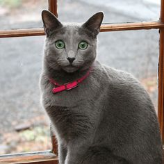 """""""RUSSIAN BLUE"""" Cat Facts ~ This is a Naturally Occurring Breed: Russian Blues aren't a product of cross breeding, but rather a natural breed of cat. There are no specific recurring health problems associated w/ Russian Blues Korat Cat, Chartreux Cat, Birman Cat, Raising Kittens, Cats And Kittens, Grey Cats, Blue Cats, Grey Kitten, Russian Blue Kitten"""