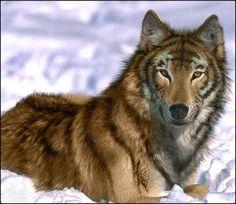 wolf hybrid | Tiger Wolf Hybrid Photo by SilenceGrey | Photobucket