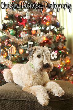 Wheaten Terrier Christmas