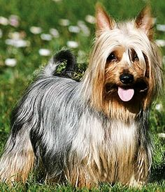 Australian Silky Terrier, keenly alert and active. Black Dogs Breeds, Toy Dog Breeds, Small Dog Breeds, Small Breed, Australian Dog Breeds, Australian Bulldog, Australian Terrier, Different Breeds Of Cats, Types Of Dogs