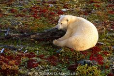 A polar bear rests on the autumn tundra in Churchill, Manitoba, Canada. By Thomas Mangelsen