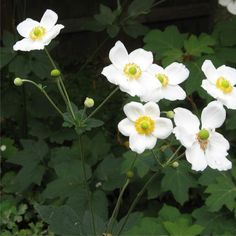 Japanese Anenome - White  (Windflower) - Australia