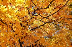 BREATHTAKING..Fall Leaves Wall Art..Fall Foliage Home by TFAS