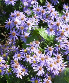All About Asters  From tall to small, splashy to subdued, these perennials are proven performers.    by Leonard Perry