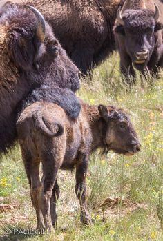 Grand Canyon buffalo
