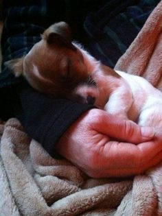 Cute Sleeping Jack Russell pup