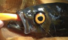 A copper rockfish at the Vancouver Aquarium Marine Science Center recently underwent surgery to get a prosthetic eye. Without it, the other fishes would act aggressively towards it for seeming sick and weak. (Vancouver Aquarium Marine Science Center)