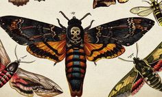 Death's-head Hawkmoth The name refers to any one of the three species (A. atropos, A. lachesis) of moth in the genus Acherontia. These moths are easily distinguishable by the vaguely human. Vintage Butterfly, Butterfly Print, Butterfly Photos, Deaths Head Moth, Sphinx, Hawk Moth, Insect Art, Tentacle, Skull Art