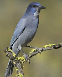 "Pinyon Jay (Gymnorhinus cyanocephalus). 9-11 3/4"" (23-30 cm). A stocky, short-tailed jay. Long slender bill gives it a resemblance to Clark's Nutcracker. Gray-blue, darkest on head, with white streaking on throat. Crow-like flight and flocking habits. Habitat: Ponderosa pine, pinyon-juniper, and forests of mixed pine and oak. Range: Central Oregon and Montana southward to central Arizona, New Mexico, and extreme northwestern Oklahoma."